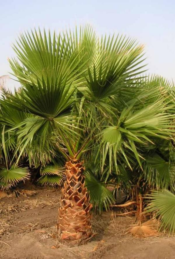 Washingtonia robusta : Palmier éventail.