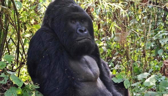 Le plus grand gorille du monde  à un pas  de lextinction http://vdn.lv/9m3P3z