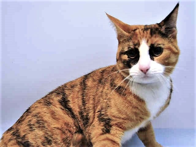 "TALUSE – A1113545  Urgent - Brooklyn     Previous | Next  Three young 'ARISTOCATS"" named TALUSE, MARIE AND BERLIOUS WERE SURRENDERED FOR ""NO TIME"" AND NEED NEW HOMES!"