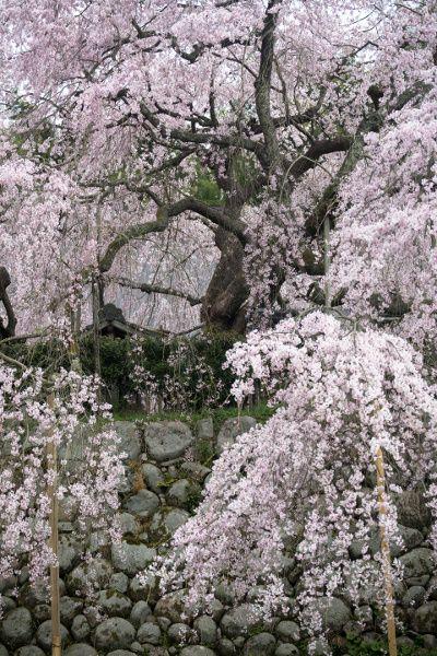 瑠璃寺「吉田の枝垂れ桜」