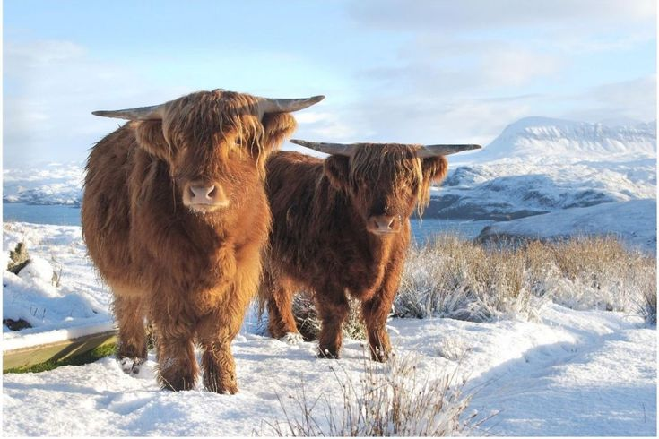 Highland Cattle in Winter - Our Local Wild Life ... click to see full size!