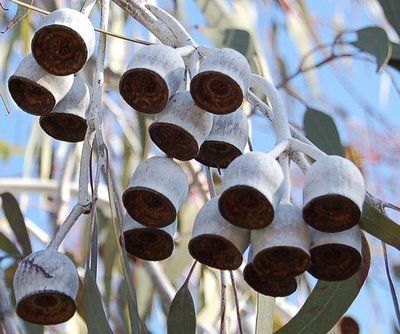 gumnuts of the beautiful gum tree, the gungurru, formally known as Eucalyptus caesia but most well known these days by the name it's sold under, 'Silver Princess'.