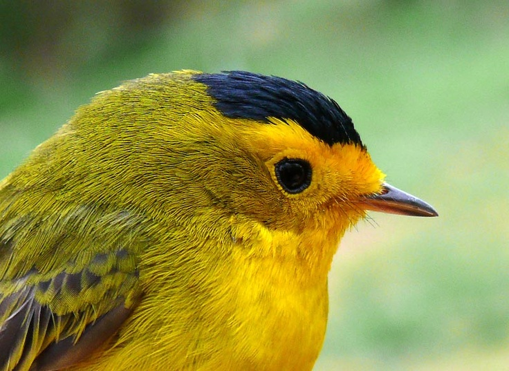 Wilson's Warbler...I'd love to spot all the 16 different warbs that summer in Minnesota