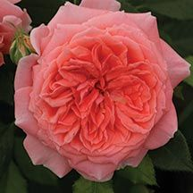 Candy Spelling Floribunda Rose - showstopping blooms in elegant clusters from late spring until fall - edmundsroses.com