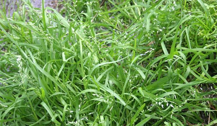 Lawn Weed Winter Grass | Lilydale Instant Turf | Love your lawn | Great grass | Lily & Dale | Follow us | Garden Tips & Advice | Contact us | Lawn Solutions Australia