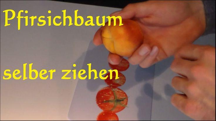 Pfirsichbaum selber ziehen - Nektarine und Pfirsich aus Kern ziehen