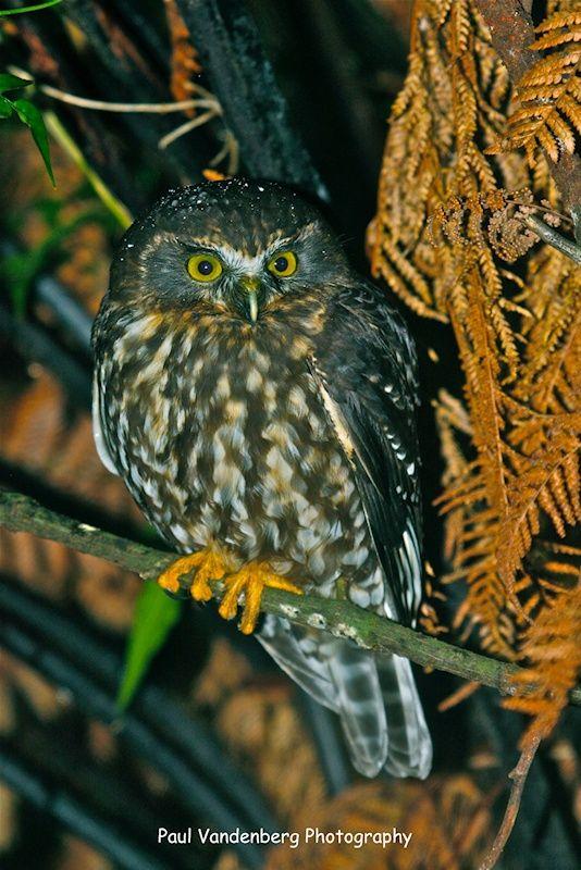 Morepork Owl (Ninox novaeseelandiae). Photo by Paul Vandenberg.