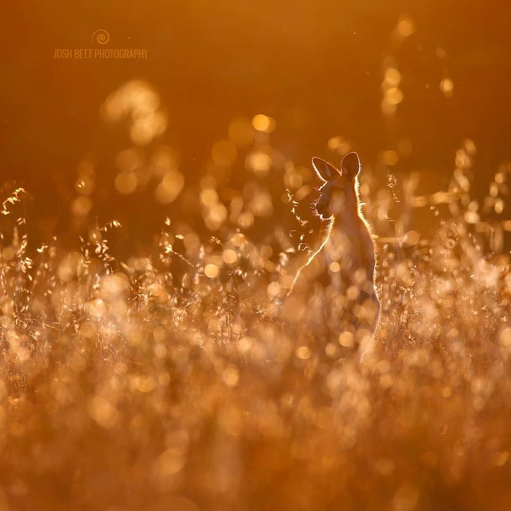 """Grass Seed Gold""  Have a jolly good ‪‎Australia Day! Even if you're not from the ‪#GreatSouthernLand  I captured this shot a couple of nights ago and I think it's a good representation of what I love about #Australia  #joshbett #Kangaroo #Roo #JoshBettRoo #JoshBettPortrait #Australia #Wildlife #Art #AustralianWildlife #JoshBettSilhouette  #GoldenHour"