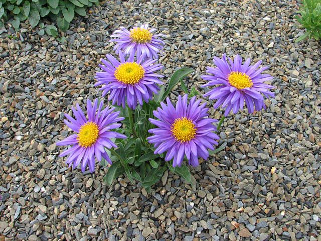Alpine plants for a rockery - Aster alpinus