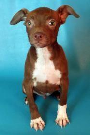 Cassius - Boston Terrier