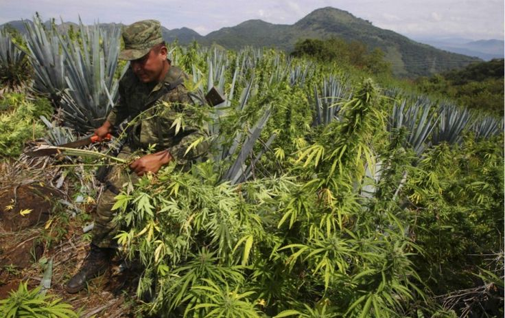 Legal marijuana may be doing at least one thing that a decades-long drug war couldn't: taking a bite out of Mexican drug cartels' profits.  Highest regards, summitrecreationalretreat.com