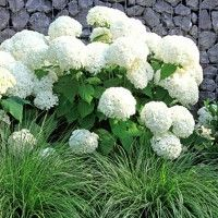 Annabelle is a shorter Hydrangea that is famous for its huge, snow-white blooms. One of the most popular Hydrangea, it will thrive in most parts of the country. (Hydrangea arborescens);