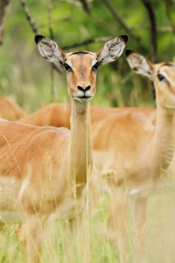 NARFI - Impala by Tracy Wilkin on 500px. Impala, Kruger National Park, Safari, South Africa, wildlife.