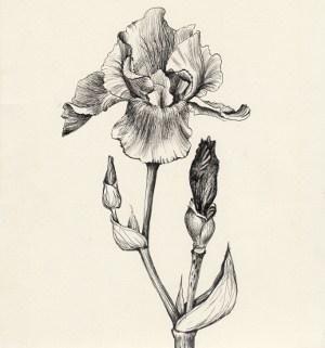Pretty iris flower design