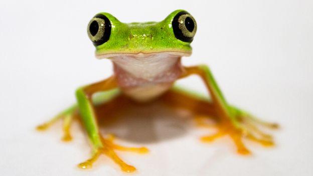 Lemur Leaf frogAnimal Pics, Lemur Leaf, Animal Pictures,  Tree-Frog, Kids Bathroom, Trees Frogs, Amazing Animalia, Funny Animal, Leaf Frogs