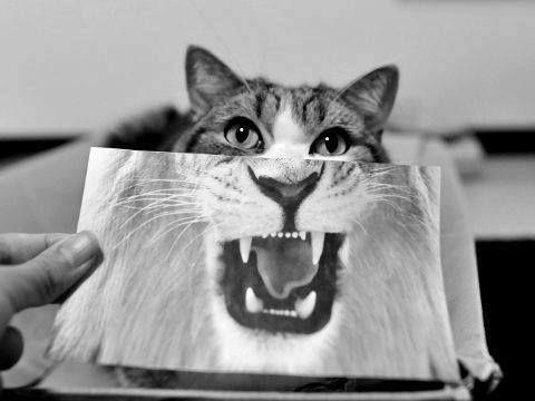 #Cat #Lion