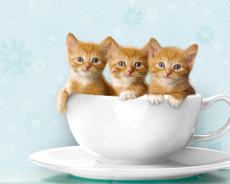 Three kittens really not sure why they're propped up in a teacup