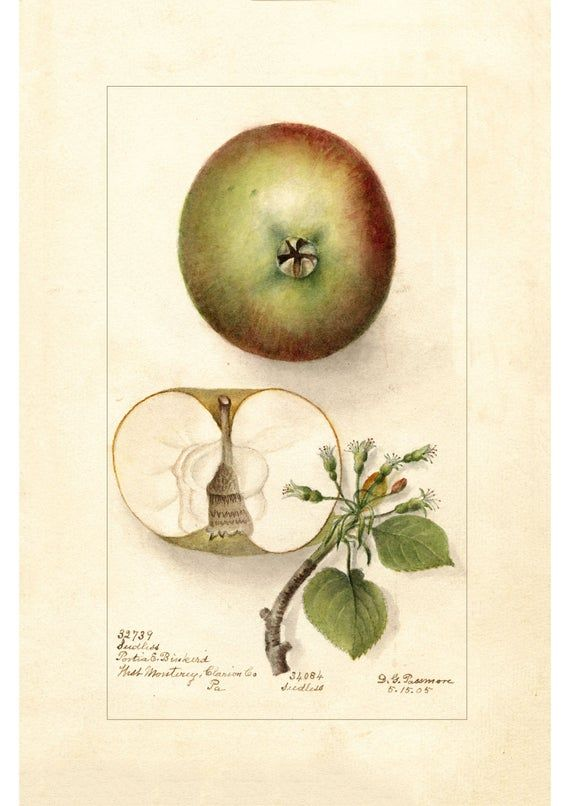 Apples Print Antique Lithograph From 1905 A4 Framed Unframed In