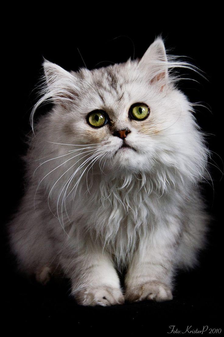 love these precious eyes... Laperm (non shedding kitten)