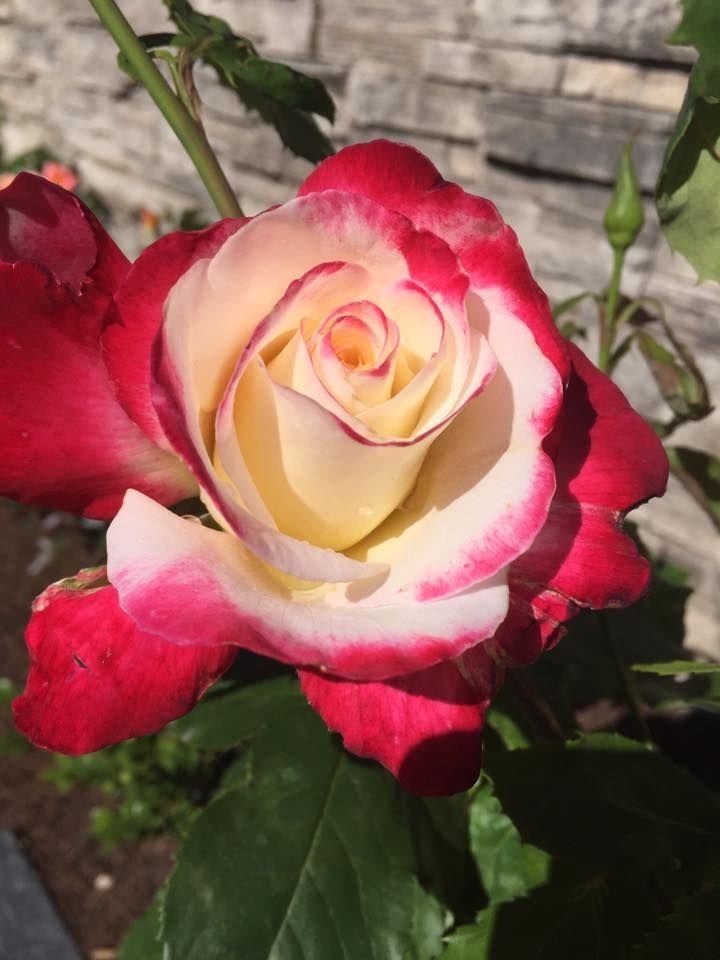 The Legendary Double Delight Hybrid Tea Rose Https Www Facebook Com Photo Php Fbid 2131932403714117 Set Gm 18131055 Hybrid Tea Roses Planting Roses Tea Roses