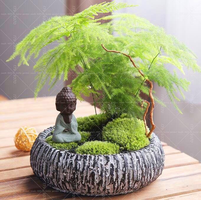 10pcs Asparagus Fern Asparagus Setaceus Small Bamboo Bonsai Setose Asparagus Plants Clean The Air Potted Review Asparagus Fern Asparagus Plant Plants