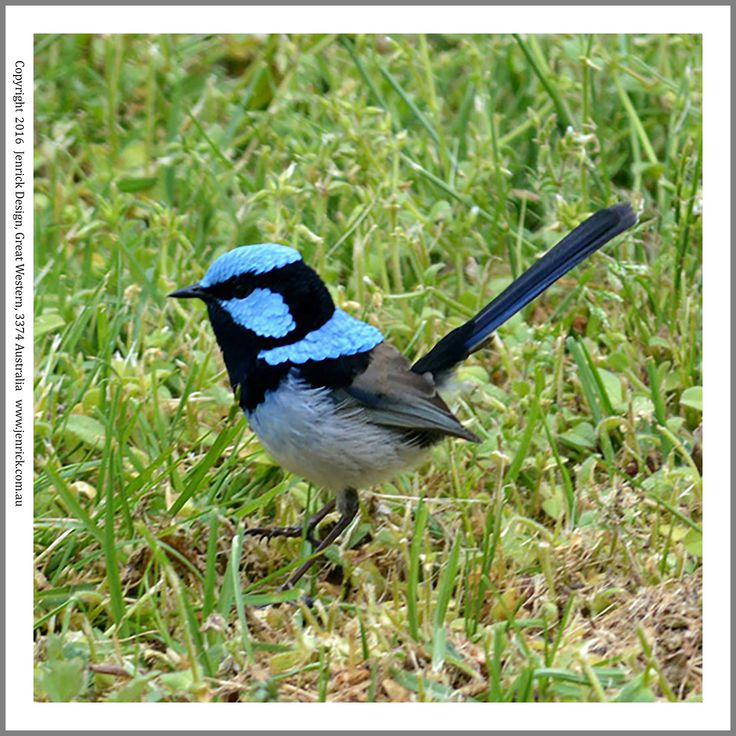 An Australian native male blue wren, printed on 100% cottonto start quilting today. selling at Jenrick Design on Shopify.com.au. Photograph by Pauline Latta