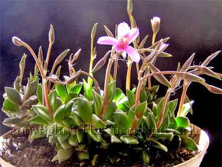Anacampseros marlothii: Airplants, Succulent Cactus, Anacampseros Marlothii, Air Plant S, Succulent Obsession