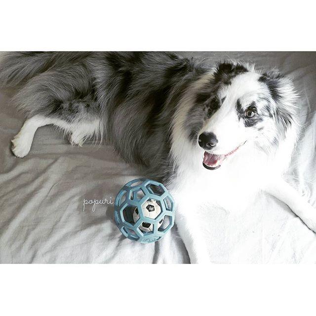 #ボーダーコリー #ボーダーコリーブルーマール #ブルーマール #ブルーマールボーダーコリー #愛犬 #家族 #ポプリ #bordercollie #bordercolliebluemerle #bluemerle #bluemerlebordercollie #dogs #dog
