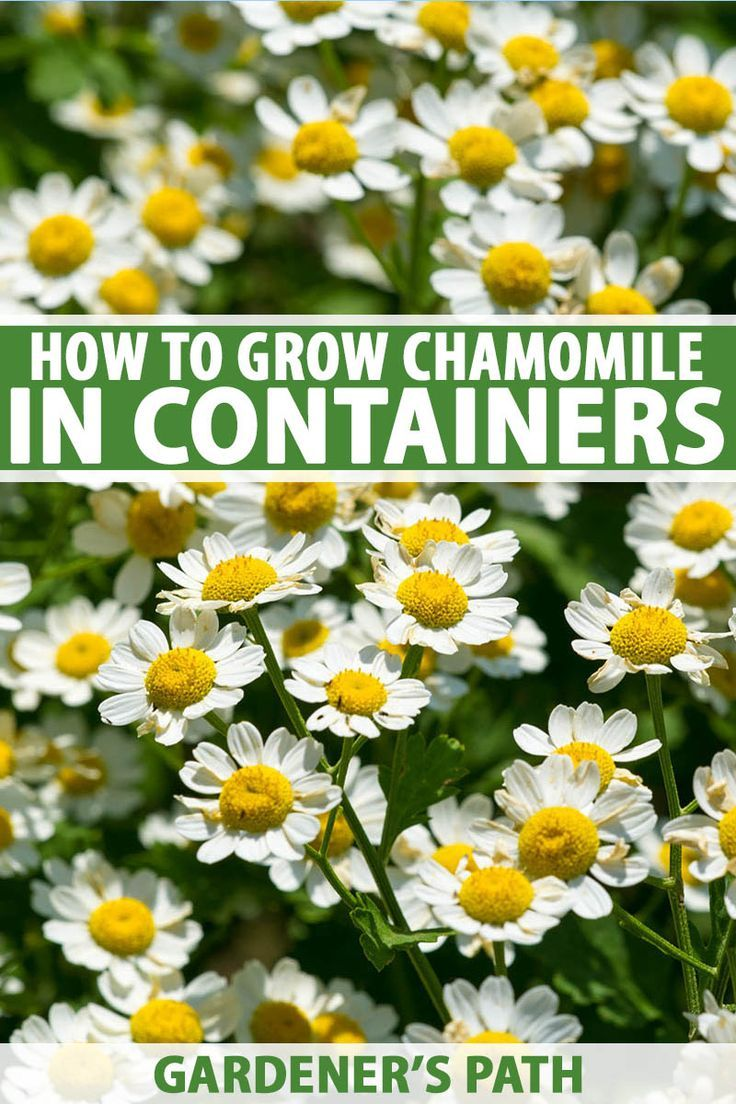 How To Grow Chamomile In Containers Gardener S Path Chamomile Growing Chamomile Plant Chamomile Seeds