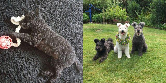 Pumi: la nuova razza di cane che sembra un tappetino da bagno -cosmopolitan.it