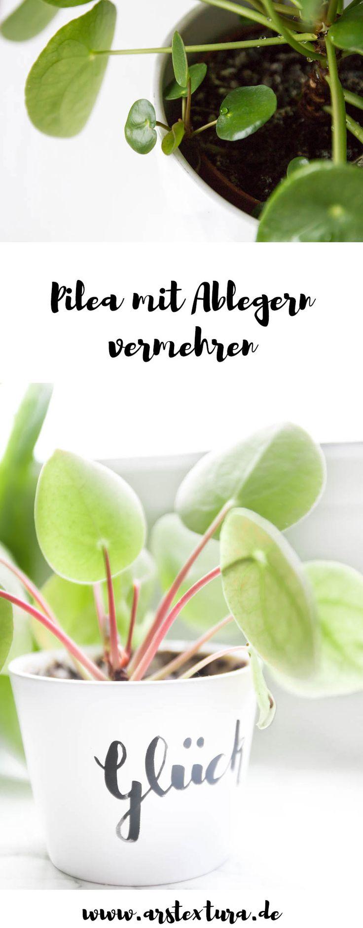 Pilea vermehren und verschenken - Ufopflanze mit Ablegern vermehren mit Anleitung