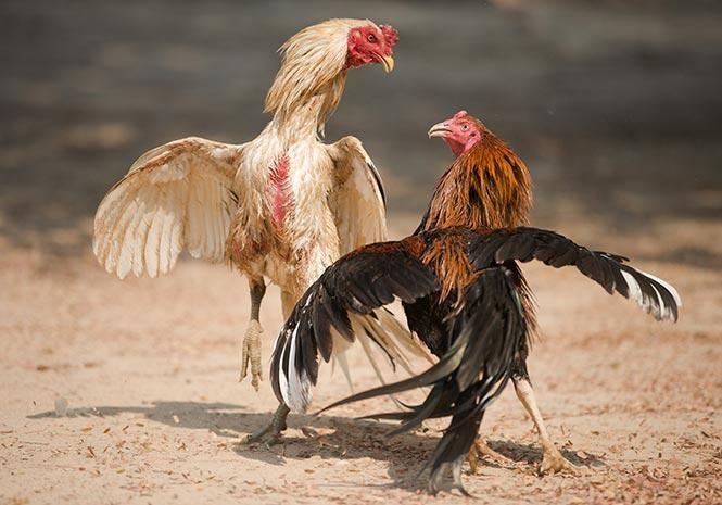 Pin On Sabung Ayam Royal928