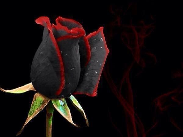 What a beautiful black flower!