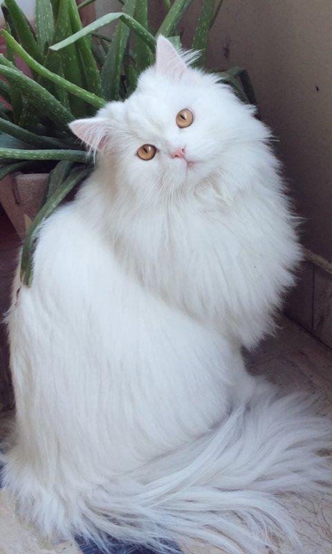 beautiful white kitty!