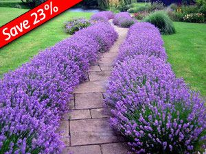 Lavender Hidcote makes a great low-growing hedge!