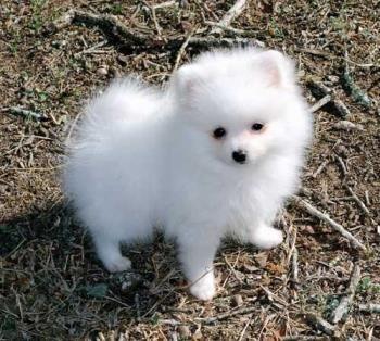 Pomerania Blanco o Spitz Enano http://www.mascotadomestica.com/razas-perros/pomerania-blanco-o-spitz-enano.html