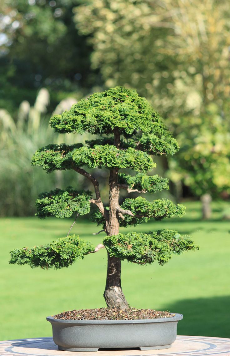 1000 Images About Amazing Trees And Bonsai On Pinterest