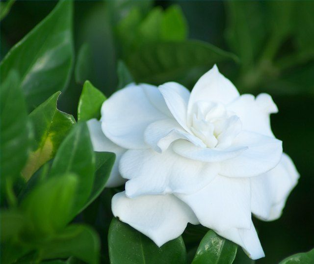 How To Make Gardenias Bloom All Year With Images Gardenia