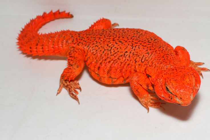62 best images about uromastyx on Pinterest | Hard at work ...
