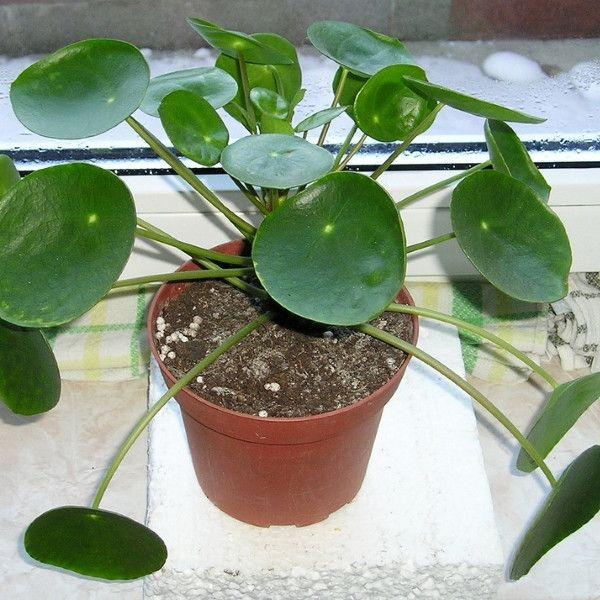 la pilea peperomioides est une plante d 39 int rieur aussi appel e chinese money plant. Black Bedroom Furniture Sets. Home Design Ideas