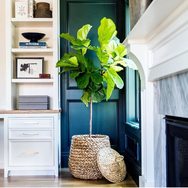 The Beauty of a Fiddle Leaf Fig ... Makes me want to paint something that blue of the door and window. Great background for a tree!