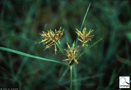Cyperus Esculentus ~ Raw Materials