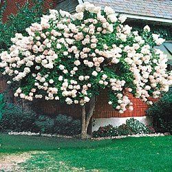 Pee Gee Hydrangea Tree. Love this! A tree that will have flowers the whole summer!