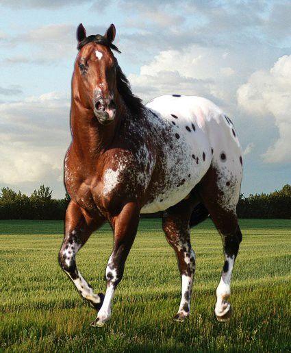 Appaloosa Quarter horse.