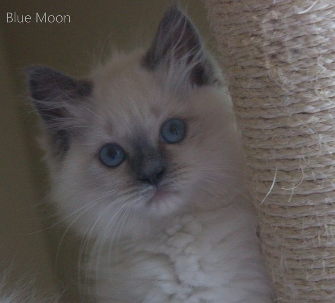Blue Point Ragdoll Kitten Blue Point Ragdoll Ragdoll Kitten Cats And Kittens