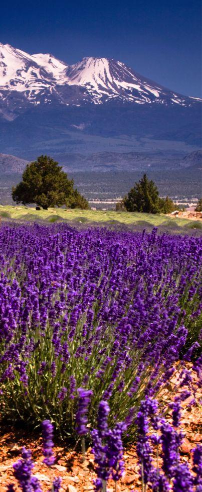 Lavender at Mt. Shasta, California, USA