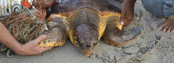 Zeeschildpadden op Bonaire, een Nederlandse gemeente in de Caraïben worden met uitsterven bedreigd. Help mee deze prachtige dieren te redden zodat ze overleven en doe een gift voor het zeeschildpaddenfonds! Klik op de foto voor meer informatie.