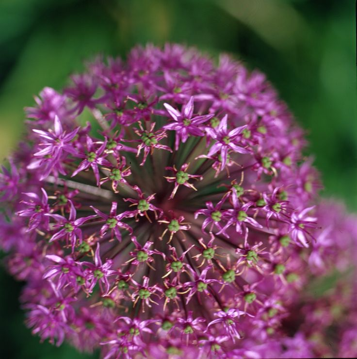 Allium aflatunense, 1 m tall, purple huge globes of flowers,tolerate ssom eshade, edible bulbs and flowers, i have them in my organic nursery at www.fuglebjerggaard.dk .