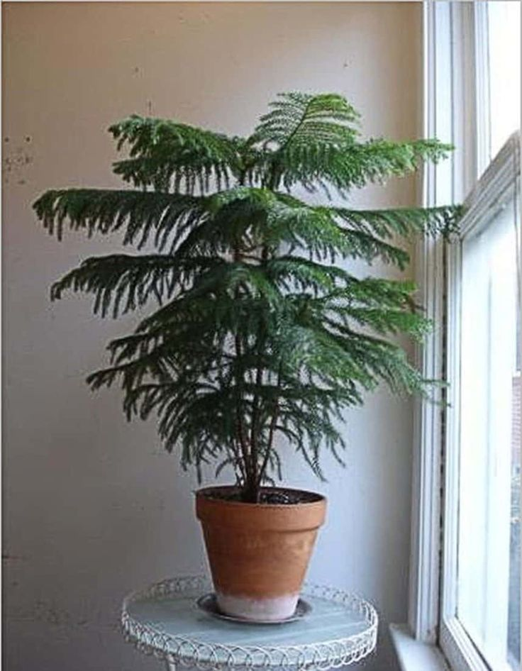Wonderful Norfolk Pine Houseplants