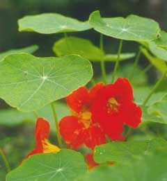 Tropaeolum majus Nasturtium, Indian Cress